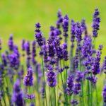 lavender blooms, symbolizing mindful self-compassion
