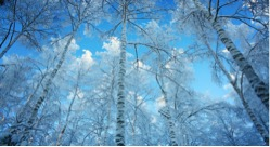 snow covered trees against bright blue sky